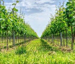 Camping Clos De La Chaume: Wijngaard in de Alsace